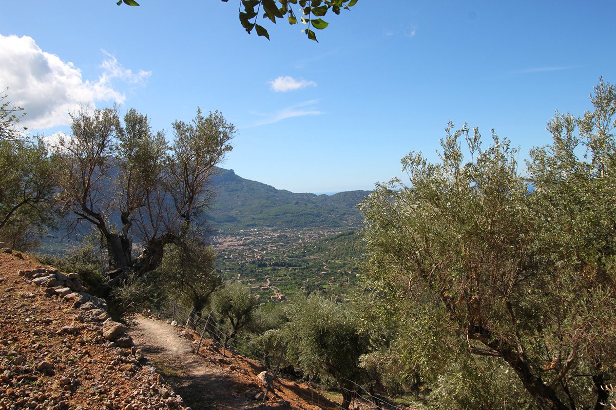 Olivar con bonitas vistas al valle de soller y a la montaña